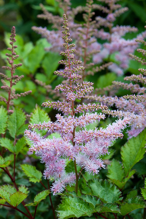 Astilbe 'Heart and Soul', early July.