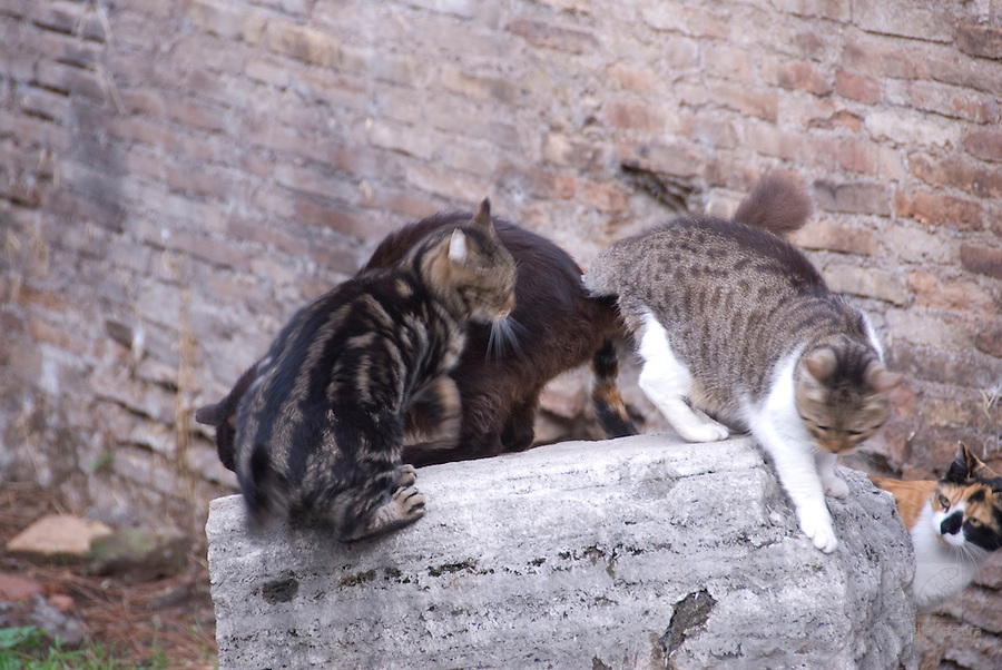 cats playing in the cat forum of rome italy