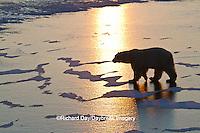 01874-13013 Polar Bear (Ursus maritimus) walking on frozen pond at sunrise Churchill Wildlife Management Area, Churchill, MB