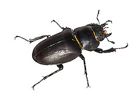 Stag Beetle female - Lucanus cervus