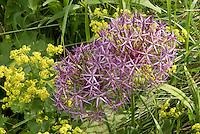 Allium christophii, Alchemilla mollis