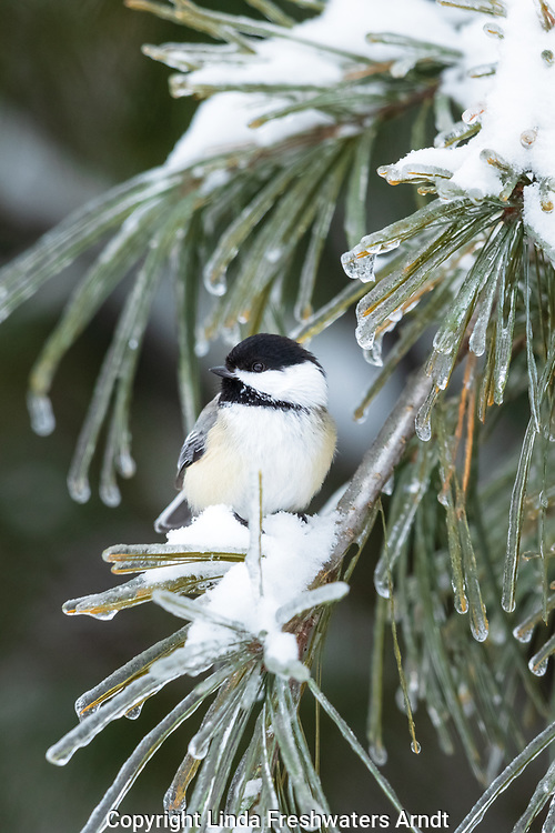 Black-capped chickadee perched in an ice-covered pine tree in northern Wisconsin.