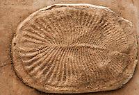 Model cast made from actual fossil impression, or mold, of a Dickinsonia fauna.  Precambrian, Edicara Hills, South Australia.