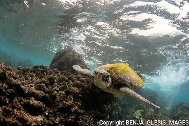 Green sea turtle swimming on the shalow waters of Makena Maui Hawaii.