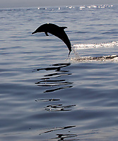 pantropical spotted dolphin, Stenella attenuata, leaping, silhouette and reflection, Kona, Big Island, Hawaii, Pacific Ocean