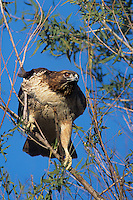 542103048 a wild red-tailed hawk buteo jamaicensis perches in a large deciduous tree at sacramento national wildlife refuge in california