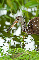 Limpkin with apple snail, Belize