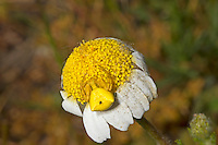 Flower Crab Spider - Misumena vatia