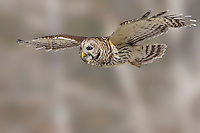 Barred Owl - Strix variaAdult<br /> Osceola Co., FL<br /> February 2006
