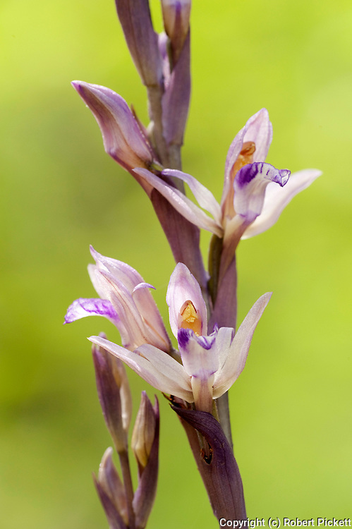 Orchis morio sp, Picta Lesvos Island Greece, Green-winged Orchid or Green-veined Orchid  , lesbos