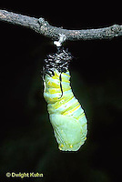 MO06-007z  Monarch Butterfly - caterpillar molting and forming chrysalis - Danaus plexippus