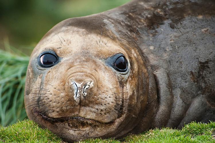 facial view of female Southern elephant seal (Mirounga leonina), Grytviken, South Georgia