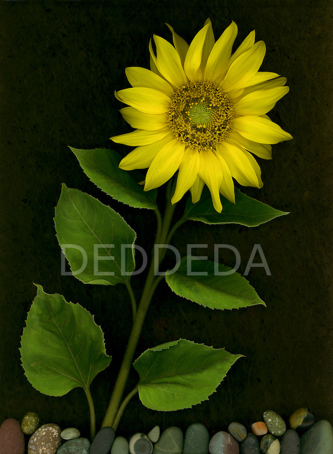 Beautiful yellow sunflower from my garden.