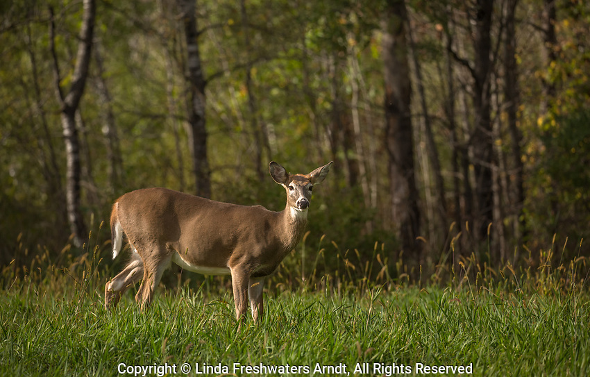 Young white-tailed buck in an autumn field.
