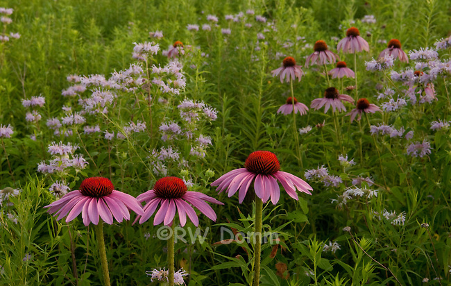 echinacea in meadow