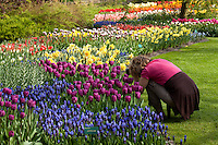 "Hollande, région des champs de fleurs, Lisse, Keukenhof, massif de plantes bulbeuses, tulipes, narcisses, muscaris et photographe // Holland, ""Dune and Bulb Region"" in April, Lisse, Keukenhof, flowerbeds of tulips, daffodils, muscaris and photographer tourism."