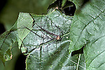 Eastern Daddy-long-legs Leiobumun sp