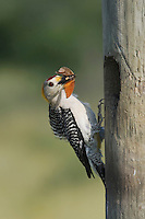 Golden-fronted Woodpecker (Melanerpes aurifrons), male at nesting cavity with butterfly prey, Sinton, Corpus Christi, Coastal Bend, Texas, USA