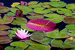 Pink Water Lilies (Nymphaea odorata) in Ames Pond, Stonington, ME, USA