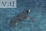 A Loggerhead Sea Turtle (Caretta caretta) Curacoa Seaquarium, Curacoa, Dutch West Indies