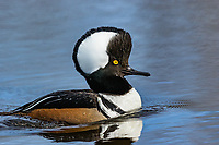 Drake hooded merganser displaying erect crest