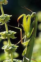 Gottesanbeterin, Europäische Gottesanbeterin, Fangschrecke, Mantis religiosa, Praying Mantis, Fangschrecken, Mantodea, mantises, mantes, mantid, mantids, Mante religieuse, mantoptères