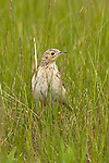 Sprague's Pipit, North Dakota.