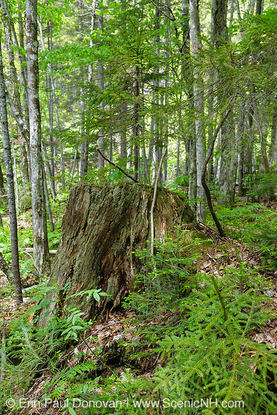 Pemigewasset Wilderness - Decaying tree stump along Thoreau Falls Trail during the summer months in the White Mountains, New Hampshire USA. This area was logged during the East Branch & Lincoln Logging Railroad era, which operated from 1893-1948.