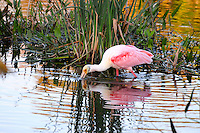 Roseate Spoonbill foraging for food during the late afternoon. Photographed at Wakodahatchee Wetlands, Delray Beach, Florida.