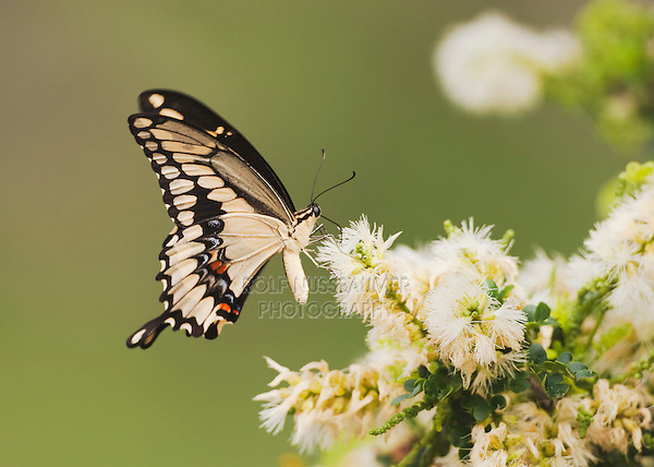 Giant Swallowtail (Papilio cresphontes), adult feeding on flower, Sinton, Corpus Christi, Coastal Bend, Texas, USA