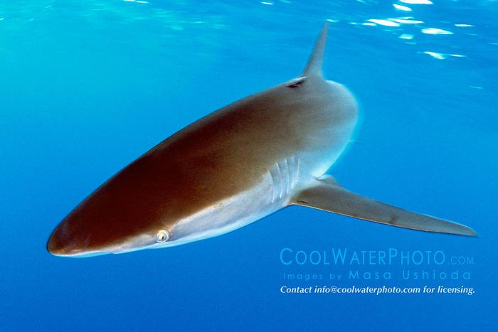 silky shark, .Carcharhinus falciformis, .Hawaii (Pacific)