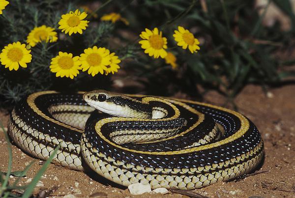 Texas patchnose snake (Salvadora grahamiae lineata), adult, Starr County, Rio Grande Valley, Texas, USA