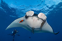 giant oceanic manta ray, Manta birostris, with remoras Remora sp., being cleaned by clarion angelfish, Holacanthus clarionensis, and scuba diver, San Benedicto Island Revillagigedo Islands, or Revillagigedo Archipelago, Mexico, Pacific Ocean