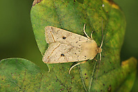 Yellow-line Quaker - Agrochola macilenta