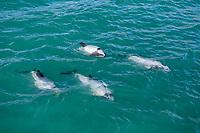 Hector's dolphin, Cephalorhynchus hectori, Akaroa, South Island, New Zealand