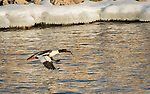 Adult Common Merganser with a small fish