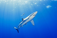 blue shark, Prionace glaucaa, and pilotfish, Naucrates ductor, Azores, Portugal, Atlantic Ocean