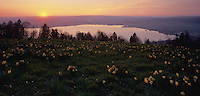 Sunset over lake of Zug and Daffodils, Zugerberg, Zug, Switzerland
