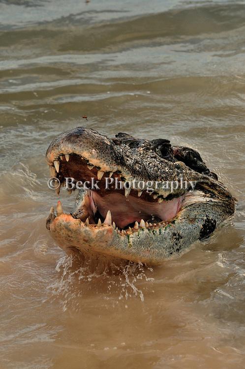 Caiman, reptile in the Agua Boa River in the Amazon