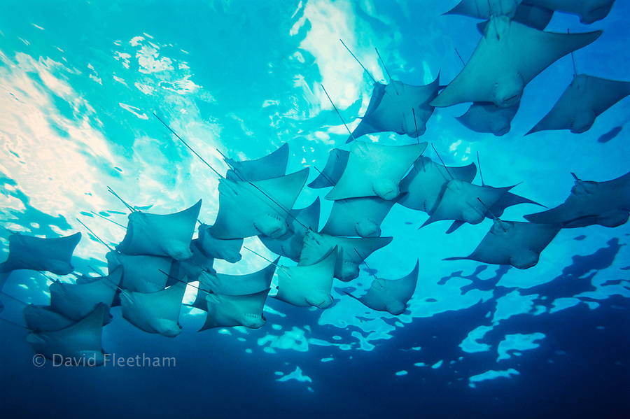 This is but a small portion of a huge school of cownose rays, Rhinoptera steindachneri, that circled this dive site several times.  Galapagos Islands.