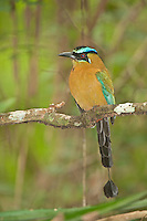 Blue-crowned Motmot in the Cayo District of Belize, Central America