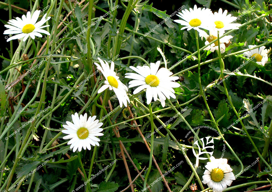 A beautiful mash of inter-blended branches of lovely white Daisy flowers