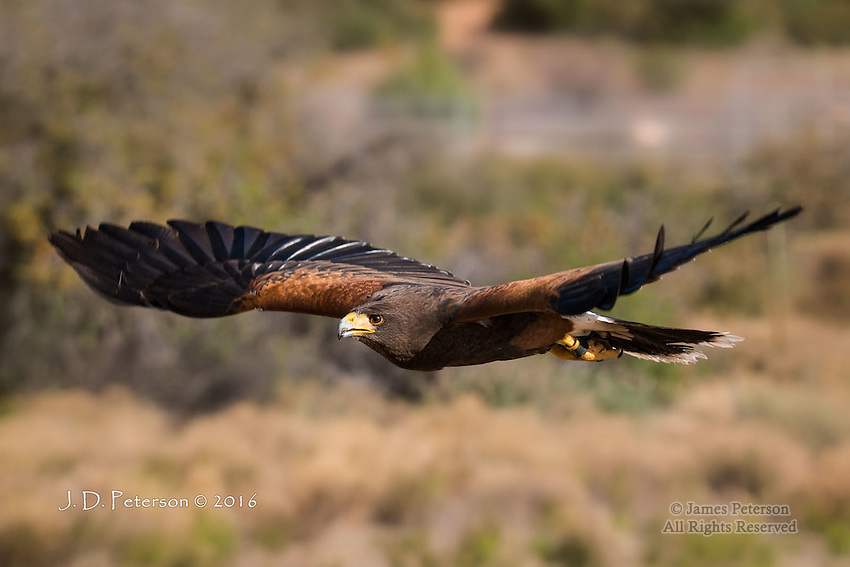 Harris's Hawk, Chino Valley, Arizona  ©2016 James D. Peterson.  This bird resides in a private shelter called Arizona's Raptor Experience, where birds that are unable to survive in the wild are cared for and exhibited.  I participated in a photo shoot there in April, 2016.