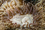 Puerto Galera, Oriental Mindoro, Philippines; a beaded sea anemone on the sandy bottom