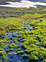 Field of buttercups and seasonal unnamed stream. Steens Mountain Wilderness