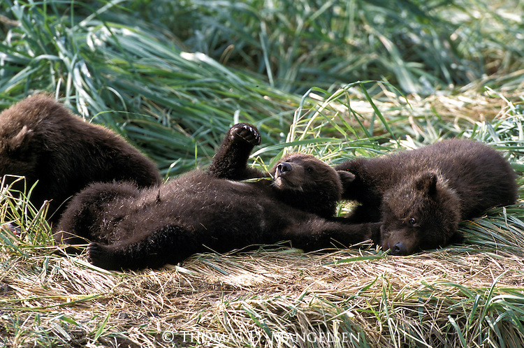 Alaskan Brown Bear (Ursus arctos) cubs playing in the grass in Southeast, AK