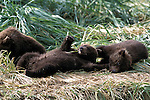 Alaskan Brown Bear (Ursus arctos) cubs playing in the grass in Southeast, AK