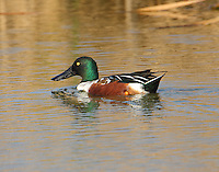 Adult male northern shoveler