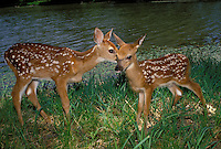 Two fawns nuzzling each other by the side of a lake on summer day, Midwest USA