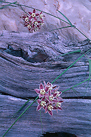 Climbing milkweed, 119 Mile Camp<br />
